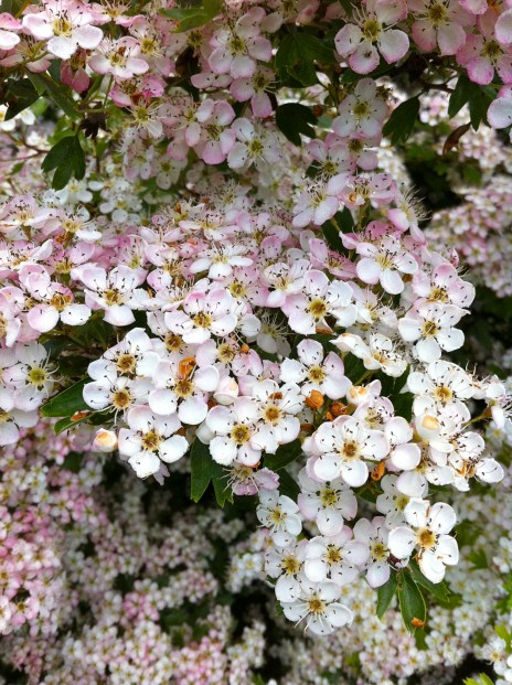 Mayflower or Hawthorn (Crataegus spp.)
