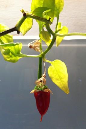 Chili (Capsicum spp.)