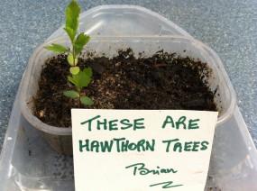 Hawthorn seedlings (Crataegus spp.)