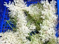 Elderflowers ready for drying in upcycled mushroom trays