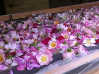 Rose petals laid out to dry in the solar dryer