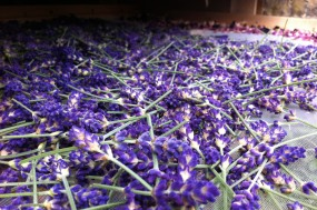 Lavender laid out to dry in the solar dryer